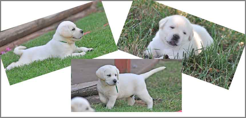 Reserve a My Awesome Labs Puppy