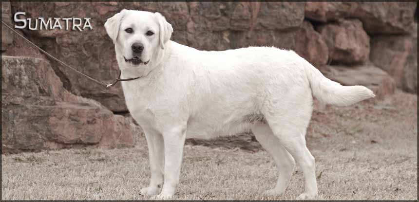 Sumatra Awesome White Labrador Retriever