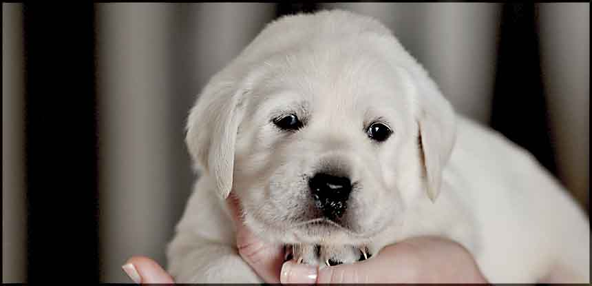 Awesome White Labrador Puppy