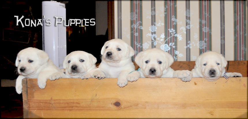 Awesome White Labrador Puppies