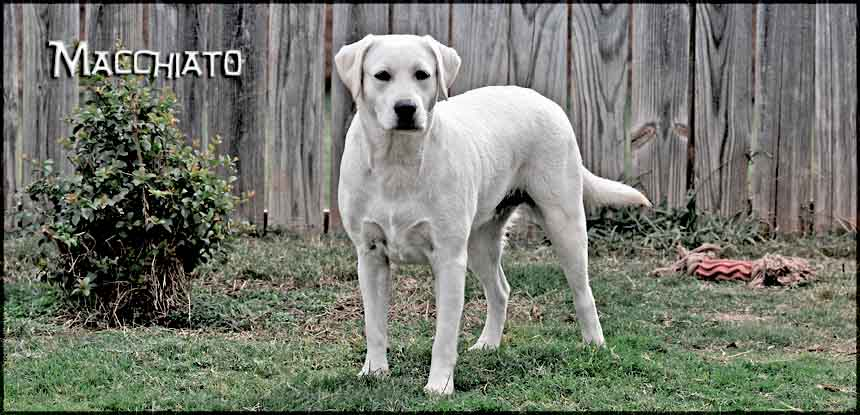 Macchiato Awesome White Labrador Retriever